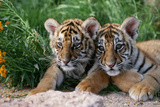 Two Siberian Tiger Cubs Fotografiskt tryck av W. Perry Conway