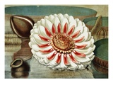 Victoria Regia or the Great Water Lily of America (Complete Bloom) Giclee Print by William Sharp