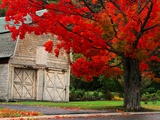 Árbol con hojas rojas y granero Lámina fotográfica por Mark Karrass