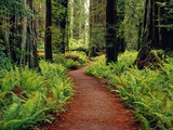 Trail Winding Through Redwoods Photographic Print by Darrell Gulin