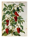 Watercolor of Indian Pepper Giclee Print by Joachim Camerarius The Younger