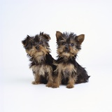 Pair of Yorkshire Terrier Puppies Photographic Print by Pat Doyle