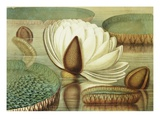 Victoria Regia or the Great Water Lily of America (Opening Flower) Giclee Print by William Sharp