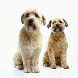 Trimmed Wheaten Terriers Photographic Print by Pat Doyle