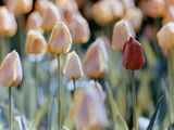 Tulips Photographic Print by Cindy Kassab