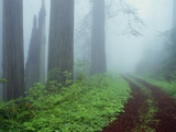 Unpaved Road in Misty Redwood Forest Photographic Print by Darrell Gulin