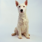 White Bull Terrier Puppy Photographic Print by Pat Doyle