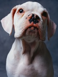 White Boxer Puppy Photographic Print by Lawrence Manning