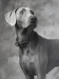 Weimaraner Photographic Print by Lawrence Manning