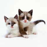 Two Tan and White Kittens Photographic Print by Pat Doyle