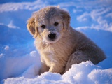 White Puppy Seated in Snow Fotografisk tryk af Stan Fellerman
