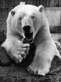 Yawning Polar Bear Photographic Print