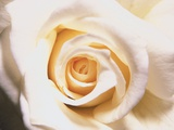 White Rose Photographic Print by Robert Marien