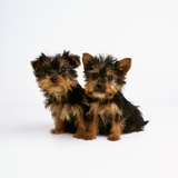 Yorkshire Terrier Puppies Photographic Print by Pat Doyle