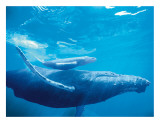 Hawaiian Humpback Mother and Calf Giclee Print by Michael S. Nolan