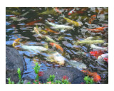 Koi Fish Pond Photographic Print by Miska Slock