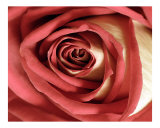 Rose 114 Photographic Print by Scott Kuehn