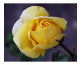 Rose 126 Photographic Print by Scott Kuehn