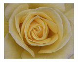 Rose 102 Photographic Print by Scott Kuehn