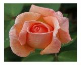 Rose 127 Photographic Print by Scott Kuehn