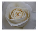 Rose 118 Photographic Print by Scott Kuehn