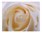 Rose 107 Photographic Print by Scott Kuehn
