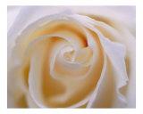 Rose 107 Photographic Print by Scott Kuehn