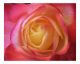Rose 129 Photographic Print by Scott Kuehn