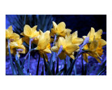Daffodil Blues Photographic Print by Kim Avent-DiLorenzo