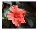 Red Hibiscus Flower Bloom Photographie par Josh Williams