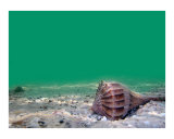 Sea Shell Under water Photographic Print by James Davidson
