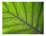Giant Leaf Photographic Print by James Davidson