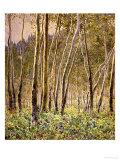 Sunlit Birches, 1924 Art par Gunnar Widforss