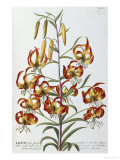 Lilium, 1750-1773 Giclee Print by Christoph Jacob Trew