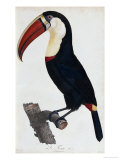 Hand Coloured Engraving of a Toucan, 1806 Poster by Francois Levaillant