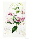 A Monograph of the Genus Lilium, 1877-1880 Giclee Print by Henry John Elwes
