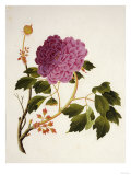 Double Pink Tree Peonies, Chinese Watercolour Drawing on Paper, circa 1800 Poster