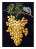 Alexandria Grapes, 1812 Prints by George Brookshaw