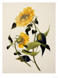 Double Yellow Hibiscus, circa 1800 Prints