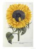 Sun Flower Premium Giclee Print by Johann Wilhelm Weinmann