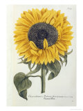 Sun Flower Prints by Johann Wilhem Weinmann