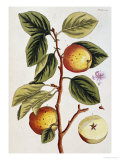 Apple Tree (Malus Sativa), 1739 Premium Giclee Print by Elizabeth Blackwell