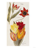 Tulips, Published 1838-1852 Print