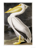 American White Pelican Art by John James Audubon