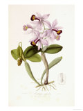 Sertum Orchidaceum Giclee Print by John Lindley
