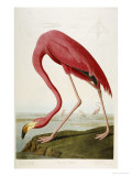 Flamingo Drinking at Water&#39;s Edge Gicl&#233;e-Druck von John James Audubon