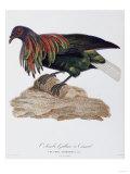 Columba Nicobarica Giclee Print