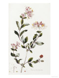 A Colour Plate from Curtis' Flora Londinesis Premium Giclee Print by William Curtis