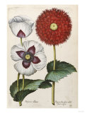 Poppies, 17th Century Posters