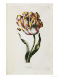 Tulip Giclee Print by Thomas Parkinson